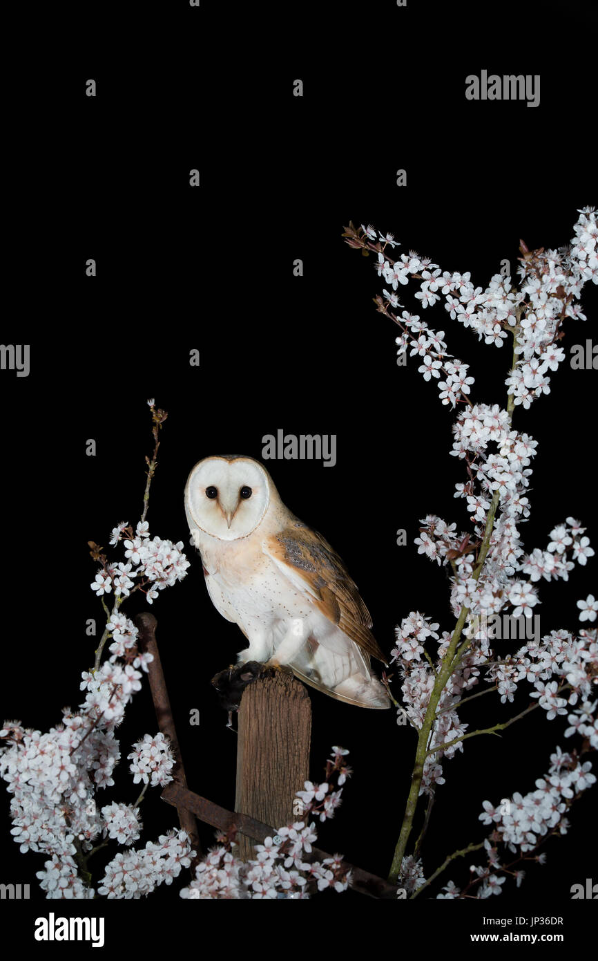 Barn owl (Tyto alba) at night in blossom - Stock Image