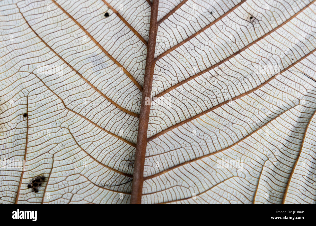 Detailed veins of a slivery leaf. Colombia, South America - Stock Image