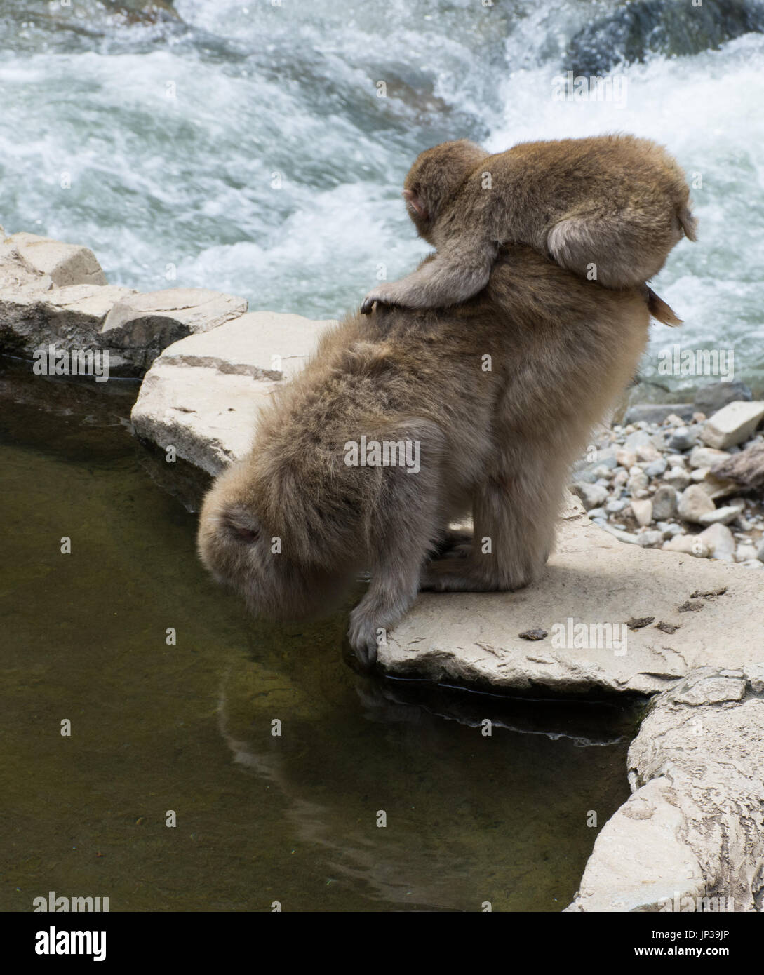 Baby snow monkey perched on mom while she drinks from the hot spring pool. These Japanese macaques are on a rock slab between the pool and a river. - Stock Image