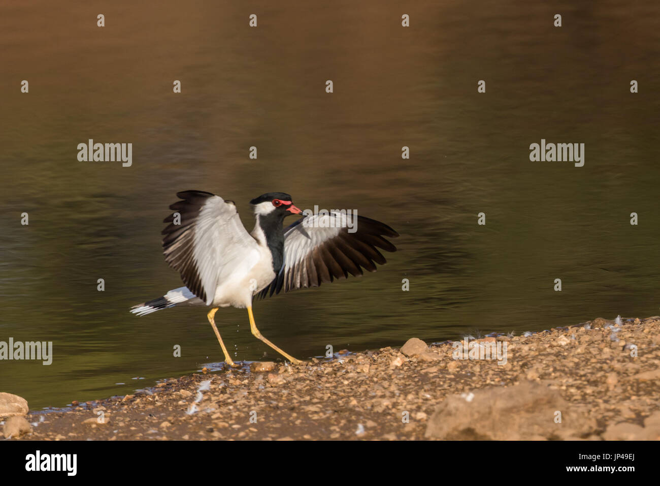 red wattled lapwing  (Vanellus indicus)  in Central Indian Forest, India - Stock Image