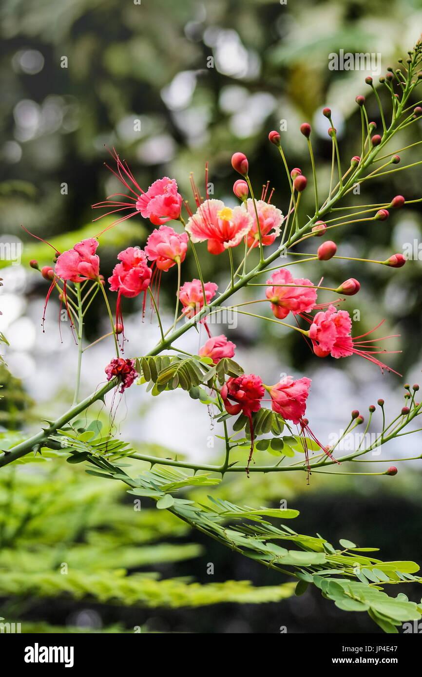 Close up of dwarf poinciana flowers - Caesalpinia pulcherrima - Stock Image
