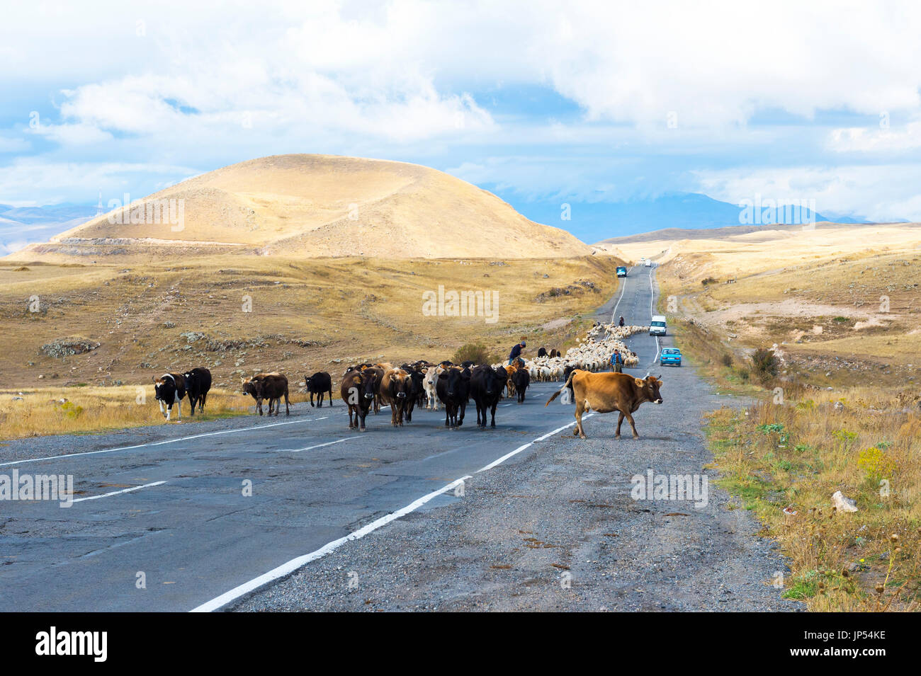 Shephard conducting a group of cows and sheep down a road, Tavush Province, Armenia - Stock Image