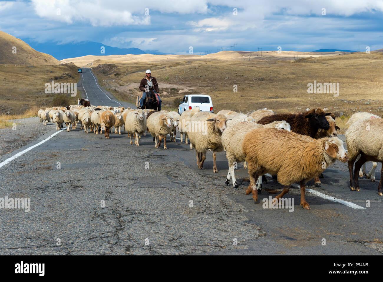 Shephard conducting a group of sheep down a road, Tavush Province, Armenia - Stock Image
