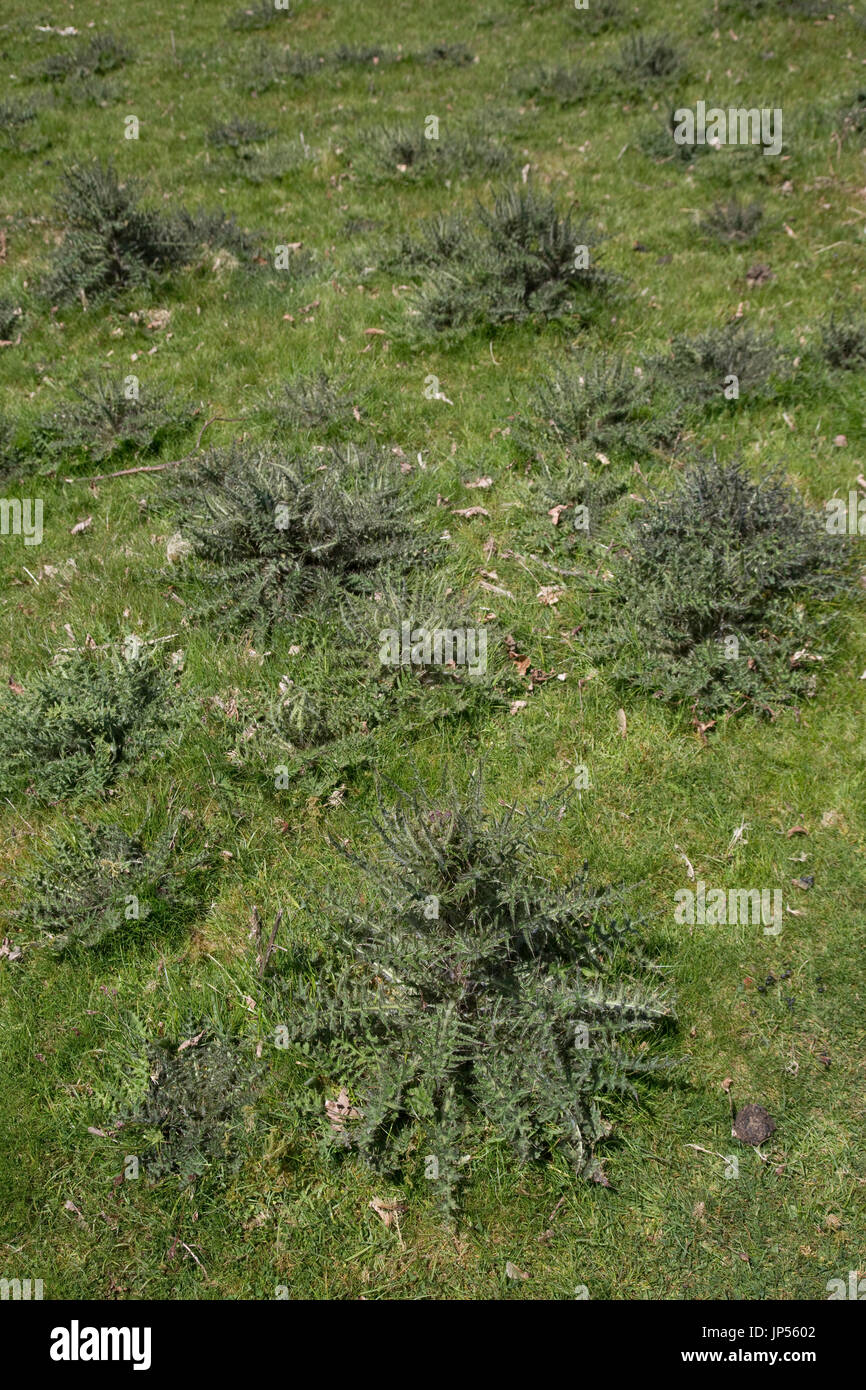 Field full of creeping thistles Cirsium arvense Wales UK - Stock Image