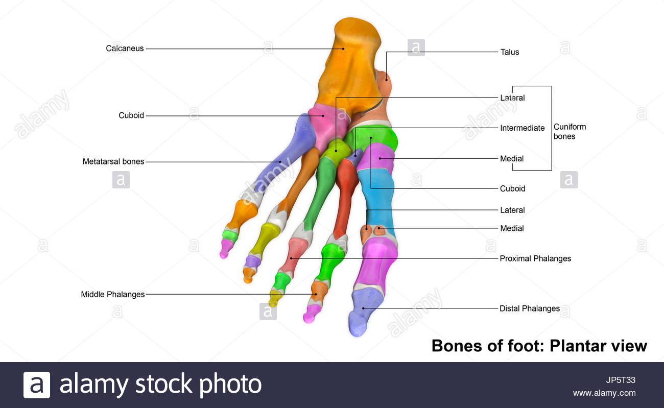 Tarsal Bones Stock Photos & Tarsal Bones Stock Images - Alamy