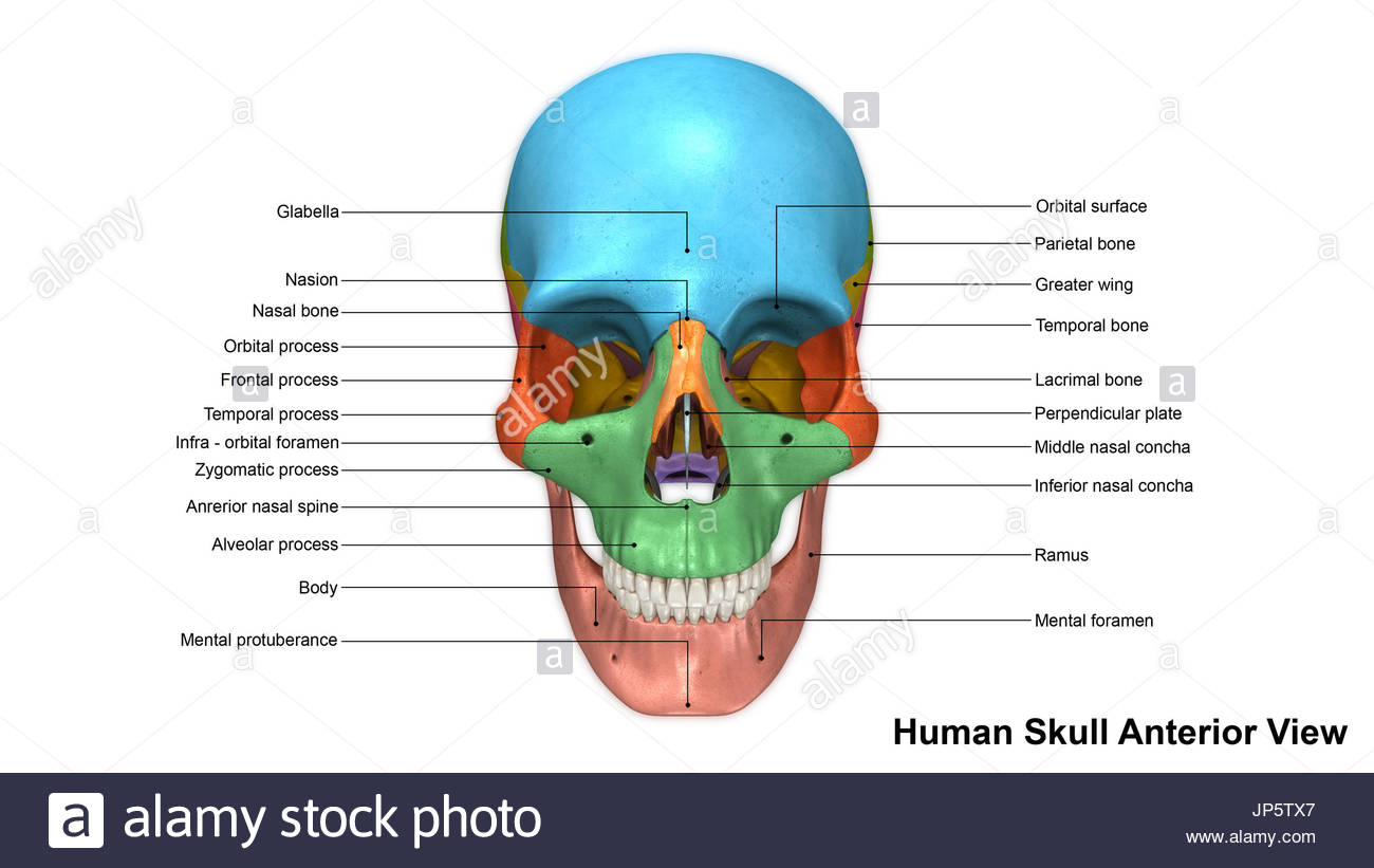 Zygomatic Cut Out Stock Images & Pictures - Alamy