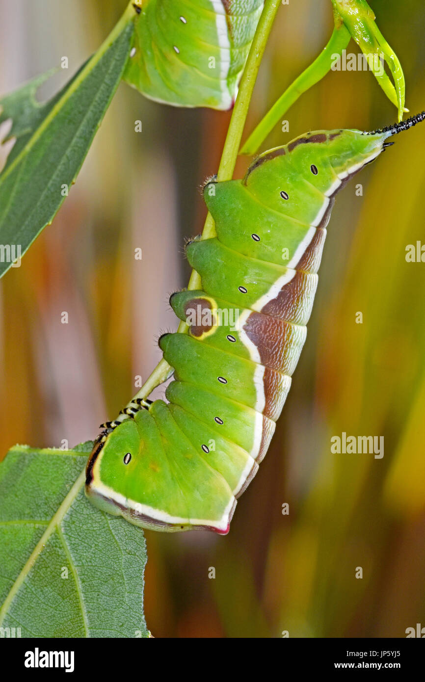 Puss moth caterpillar (Cerura vinula) - Stock Image