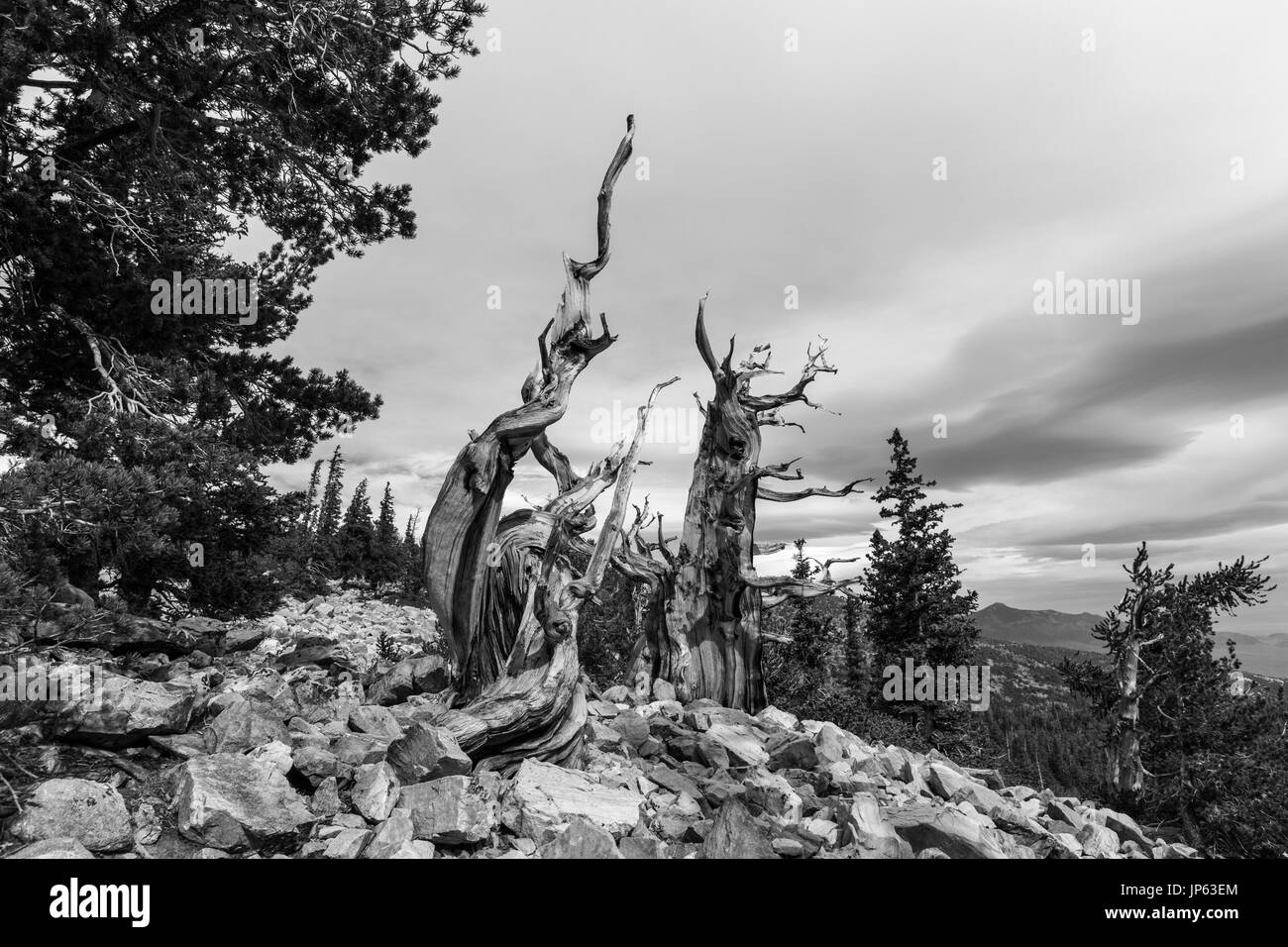 Black and white of ancient Bristlecone Pines at Great Basin National Park in Northern Nevada.  Bristlecone Pines are the oldest trees in the world. - Stock Image