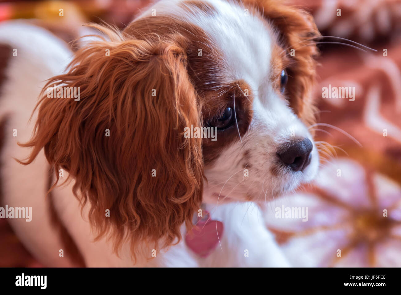 King Charles Spaniel puppy - Stock Image
