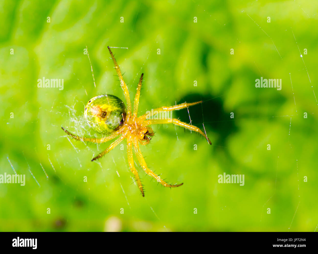 cucumber green spider in its web - Stock Image