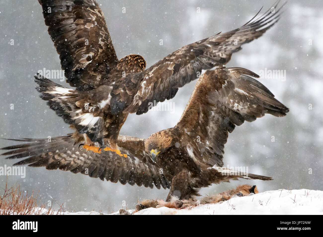 Golden eagle (Aquila chrysaetos) fighting during snowfall, Norway - Stock Image