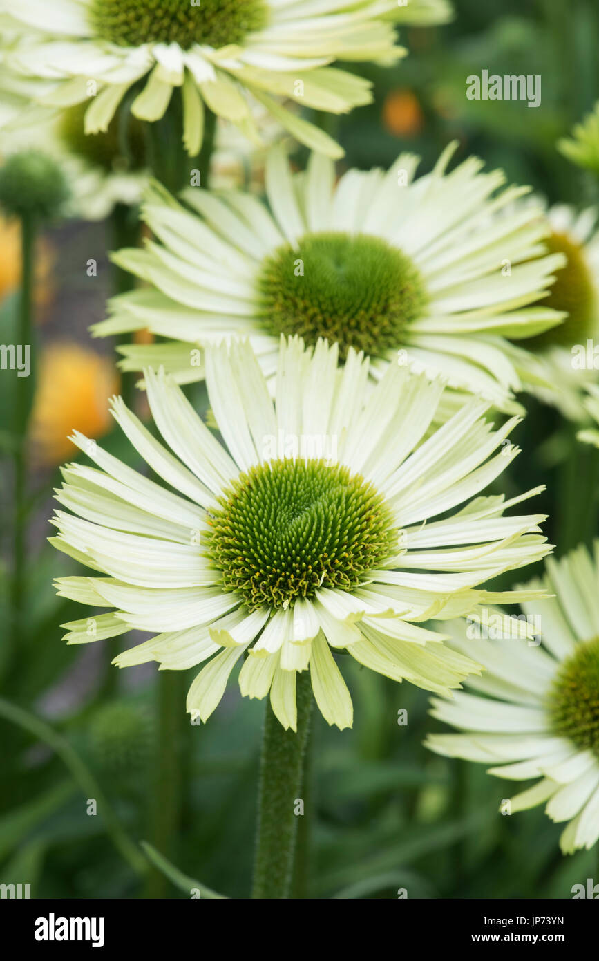 Echinacea 'Green Jewel'. Coneflowers - Stock Image