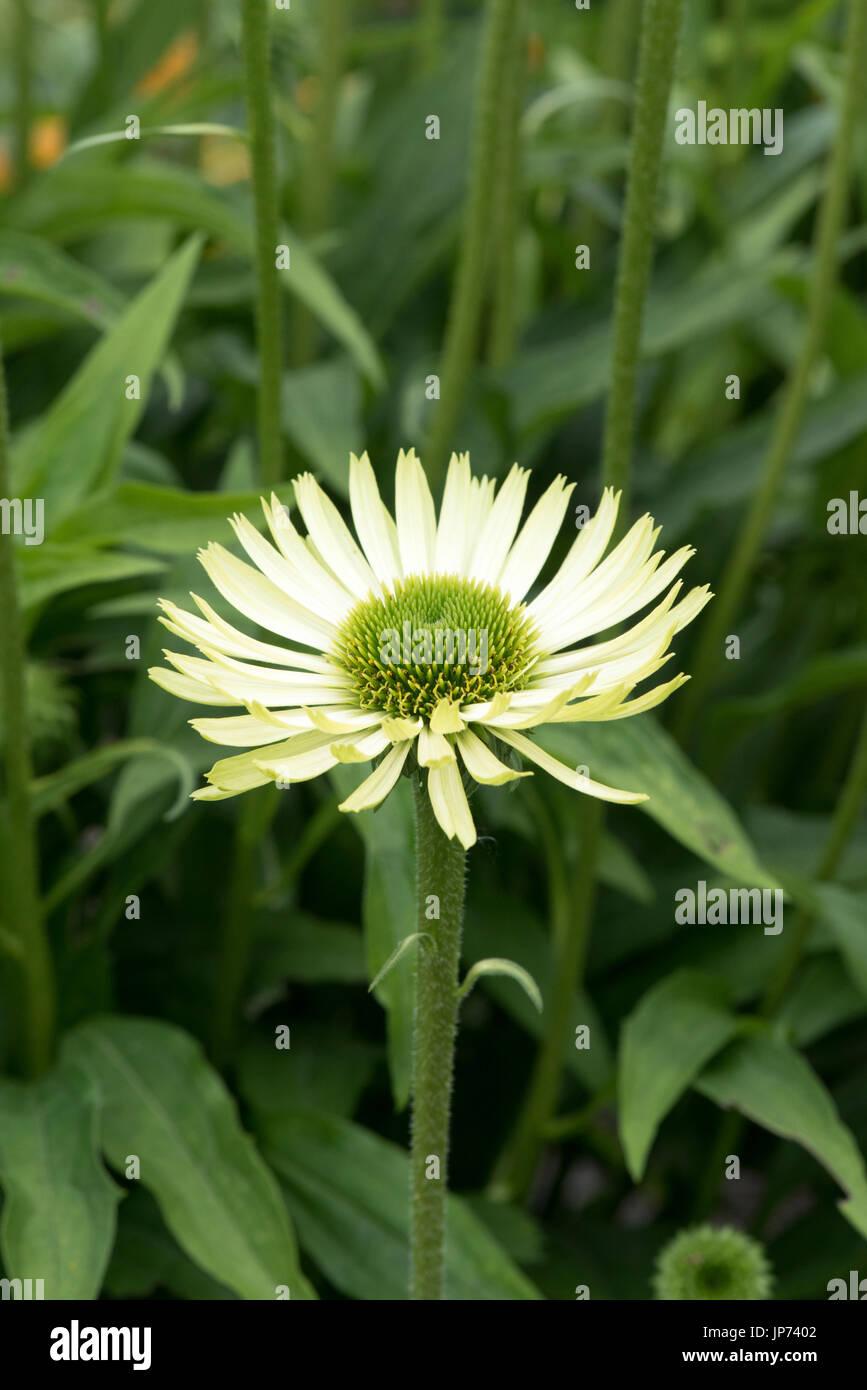 Echinacea 'Green Jewel'. Coneflowers - Stock Image