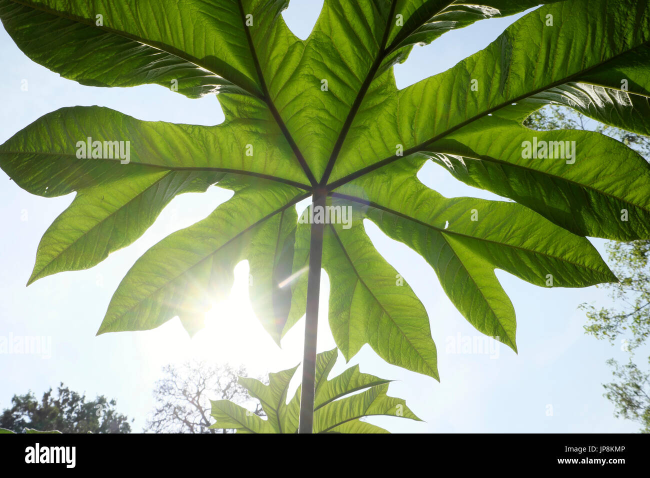 View of underside of a gigantic leaf growing on plant in Holland Park Gardens in West London W11 England United Kingdom    KATHY DEWITT - Stock Image