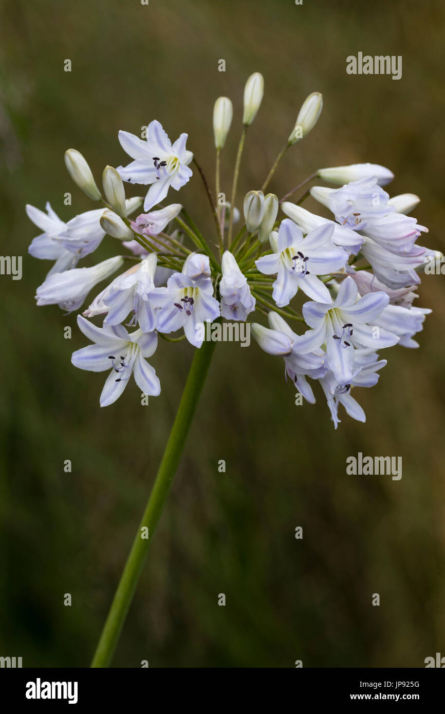 Tall white flowers stock photos tall white flowers stock images rounded heads of smallblue tinged white flowers of the hardy perennial agapanthus mightylinksfo
