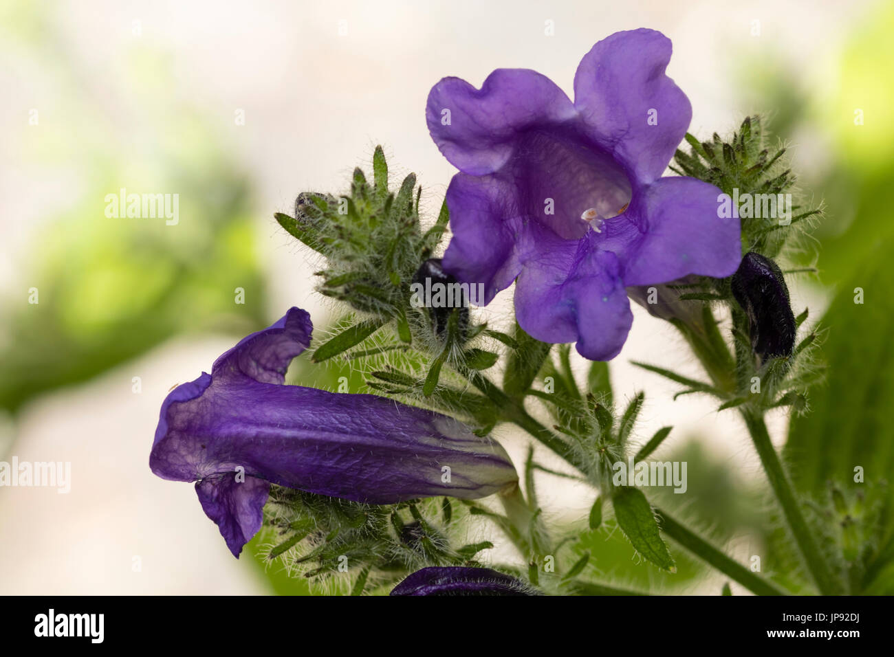 Blue, tubular flowers of the long flowering herbaceous perennial, Strobilanthes penstemonoides - Stock Image