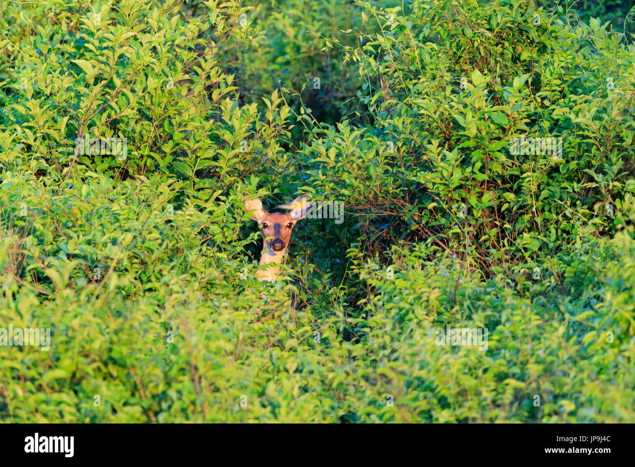 White Tailed Deer Hidden Within Thick Trees At Bald Knob Wildlife
