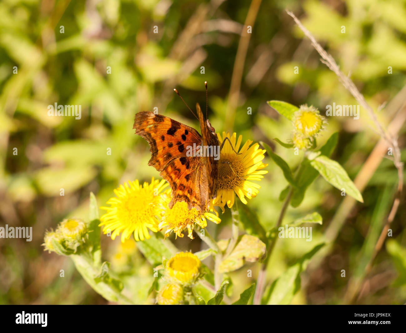 a small comma butterfly resting upon a yellow flower outside; Essex; UK - Stock Image