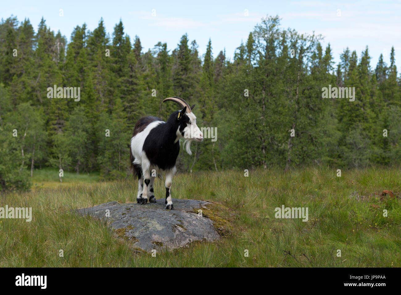 A goat is grazing at a mountain farm, it's their summer pasture. Dalarna, Sweden - Stock Image