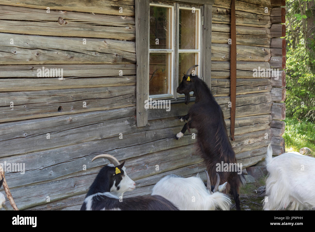 A herd of goats are grazing at a mountain farm, it's their summer pasture. The curious goats examine everything. Dalarna, Sweden - Stock Image