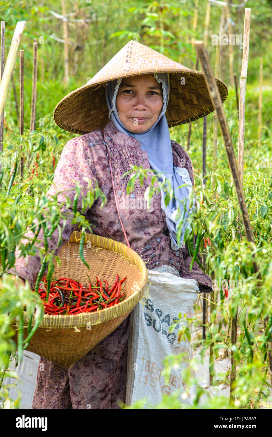 TETEBATU, INDONESIA - SEPTEMBER 10, 2014: IndonesianLady harvesting Red peppers Stock Photo