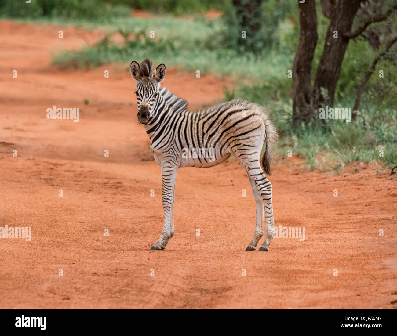 A Zebra foal in Southern African savanna - Stock Image
