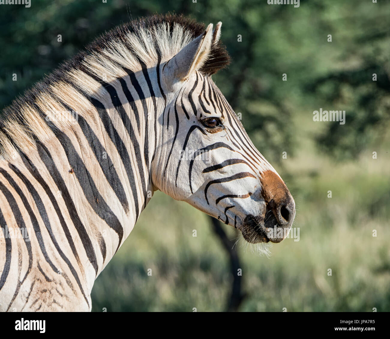 Portrait of a Zebra in Southern Africa - Stock Image