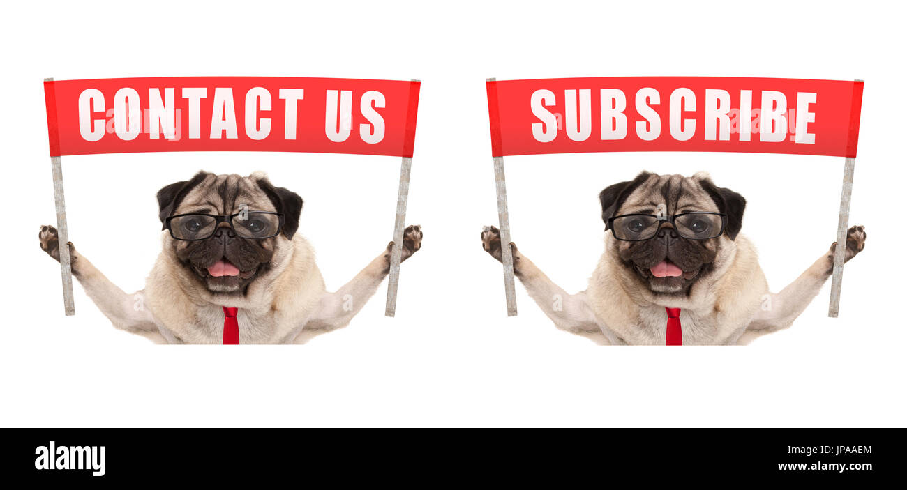 business pug dog holding up red banner sign with text contact us and subscribe, isolated on white background - Stock Image