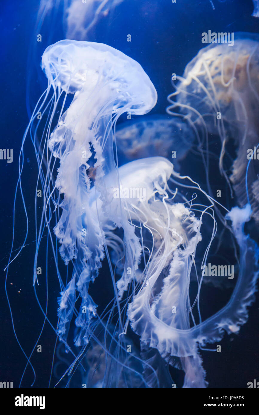England, East Yorkshire, Kingston upon Hull, The Deep, Atlantic Sea Nettle Jellyfish - Stock Image
