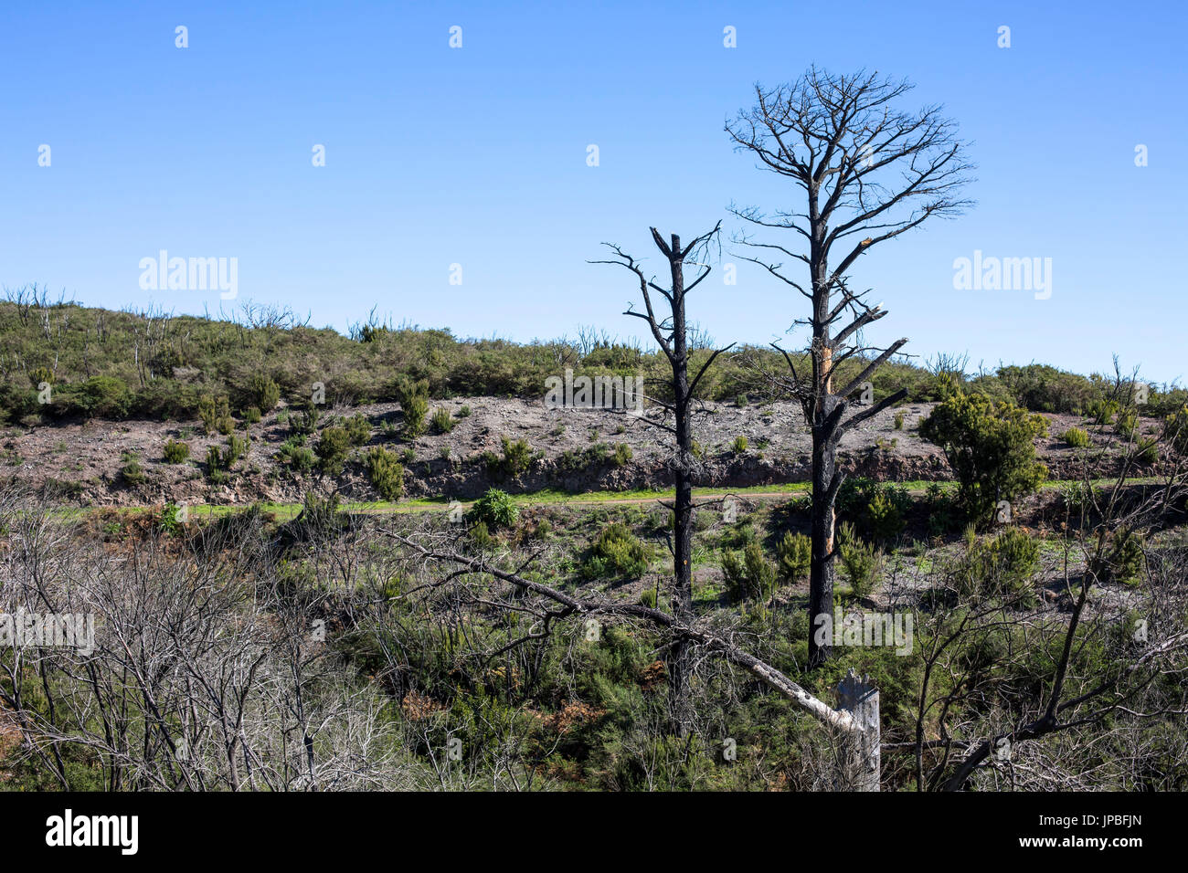 charred trees in the hiking trail 16 of the conflagration in 2012 on La Gomera, Spain - Stock Image