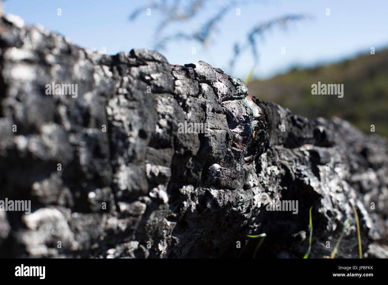 charred tree of the conflagration in 2012 on La Gomera, Spain - Stock Image