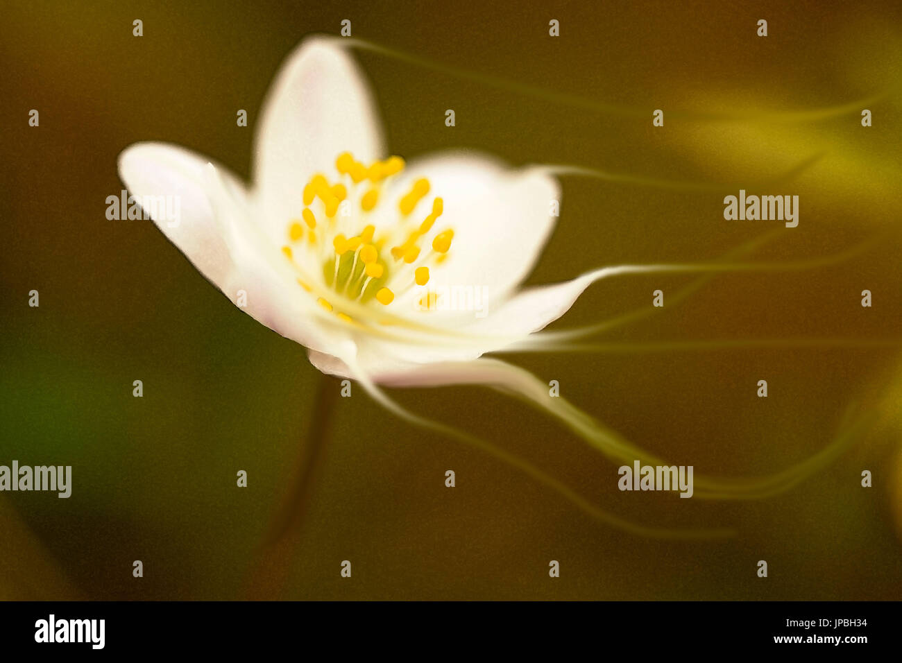 Wood Anemone in a dark forest, digital painting effect - Stock Image
