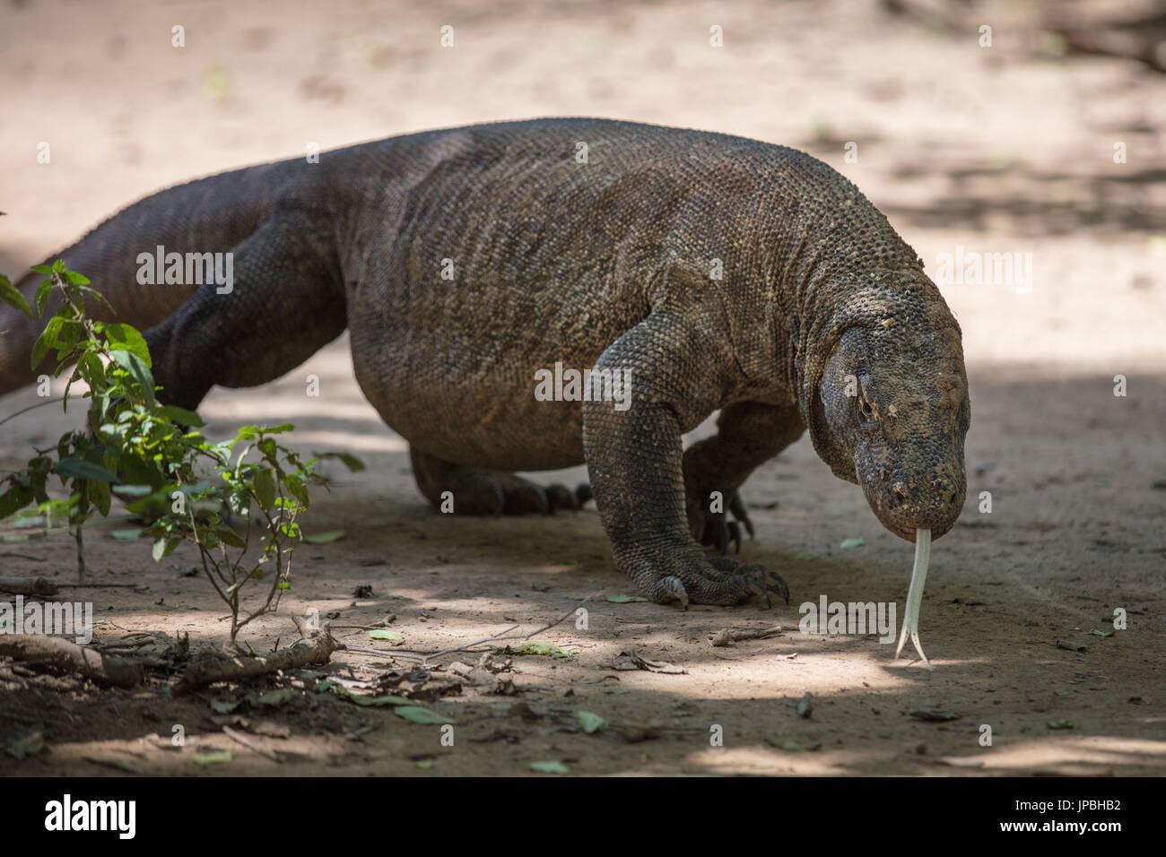 Portrait of a Komodo dragon, Komodo, wildlife, red list, UNESCO, world heritage, Indonesia - Stock Image