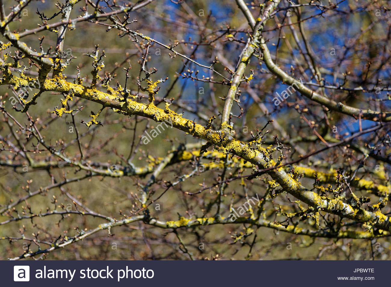 Hawthorn branch with crustose areolate lichen growth fungus organism biology ecology biotope nature Eifel hills Germany - Stock Image