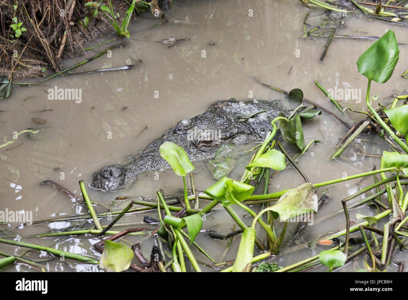 Lurking crocodile in the Thakur dighi pond, Bagerhat, Bangladesh - Stock Image
