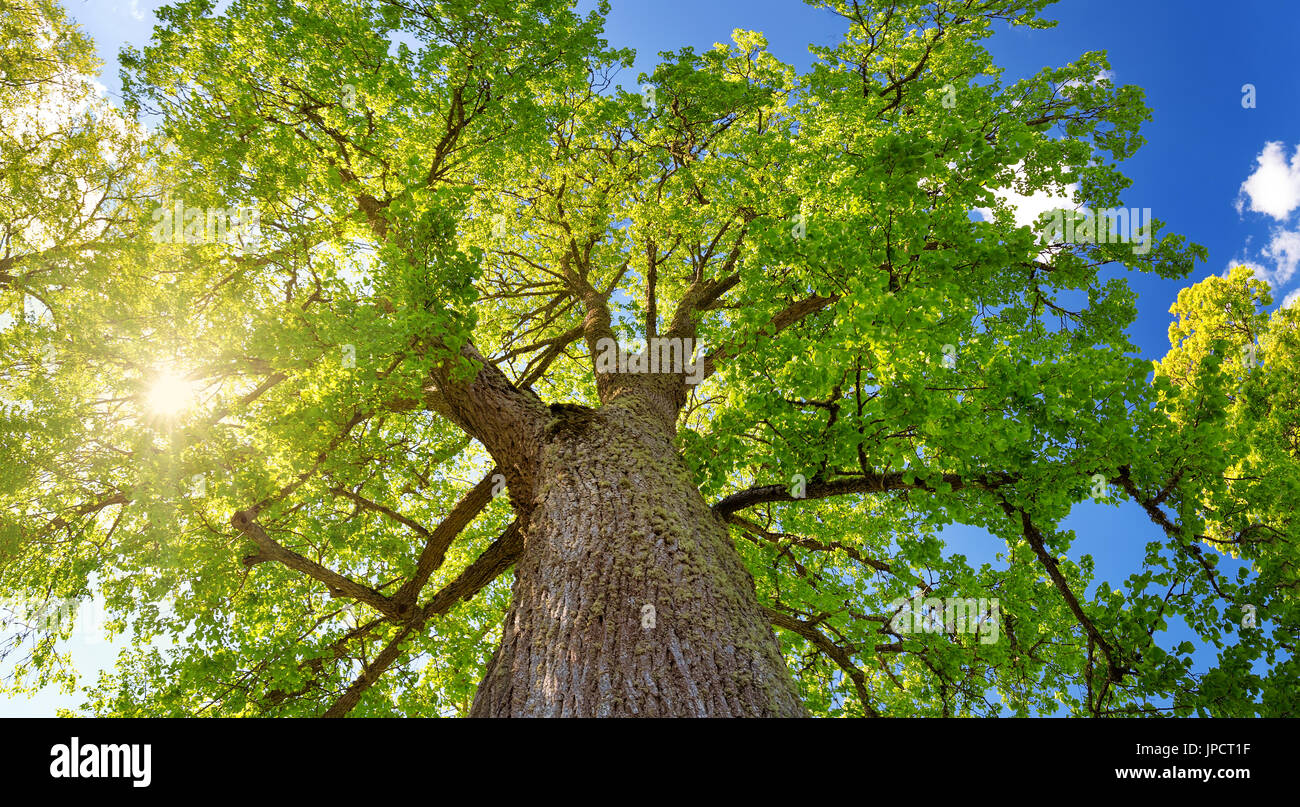 Old Linden Tree Stock Photos & Old Linden Tree Stock Images - Alamy