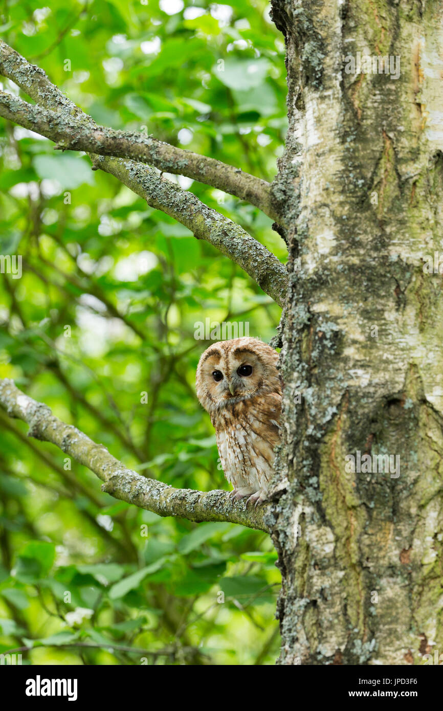 Tawny owl Strix aluco (captive), adult male, Hawk Conservancy Trust, Andover, Hampshire, UK in April. - Stock Image