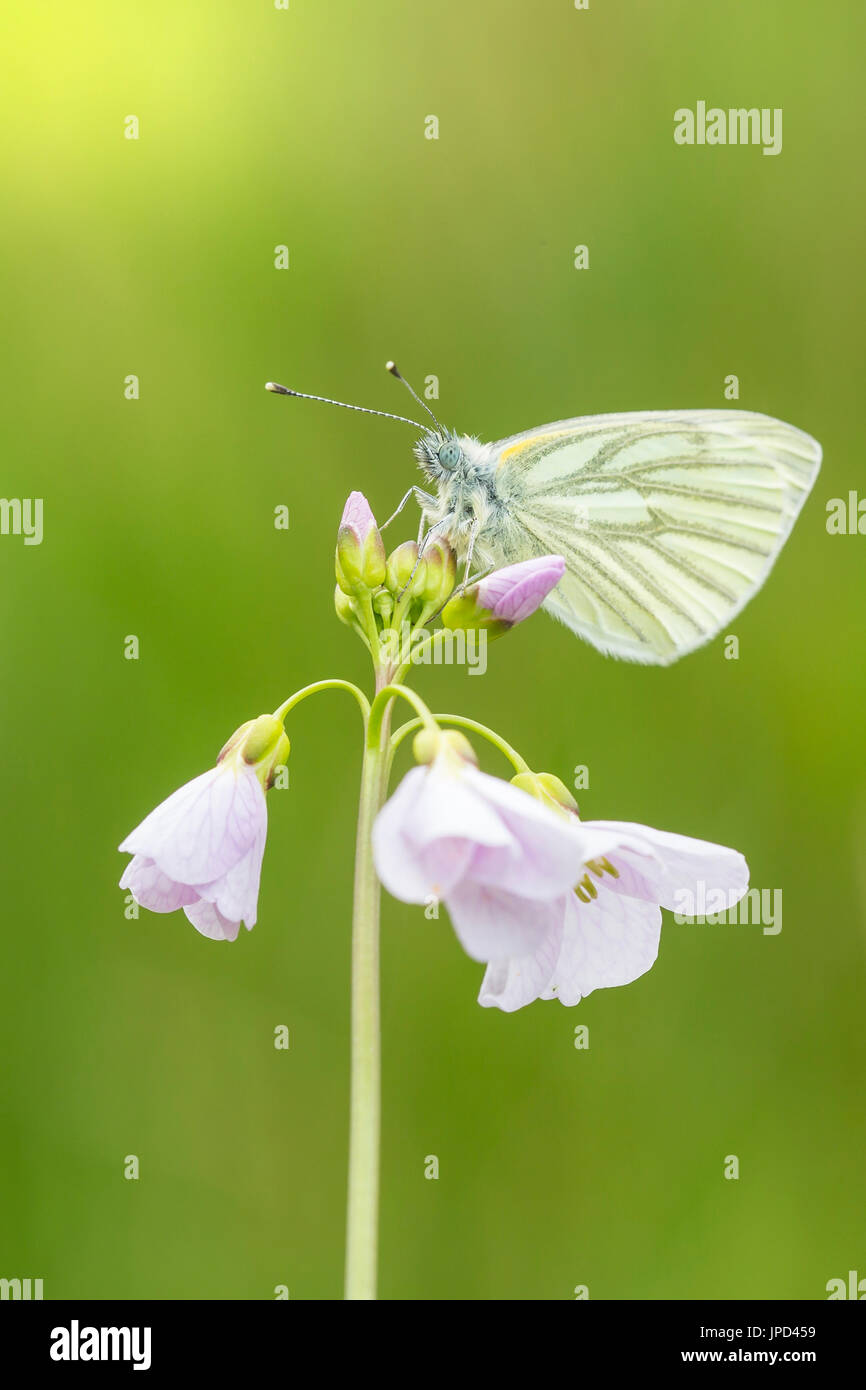 Closeup of a green-veined white (Pieris napi) butterfly resting and feeding nectar from cuckooflower (Cardamine pratensis) in a green meadow during Sp - Stock Image