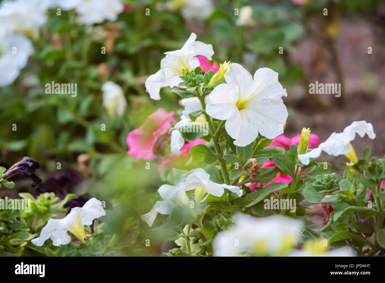 Petunia flowers bloom in the garden - Stock Image