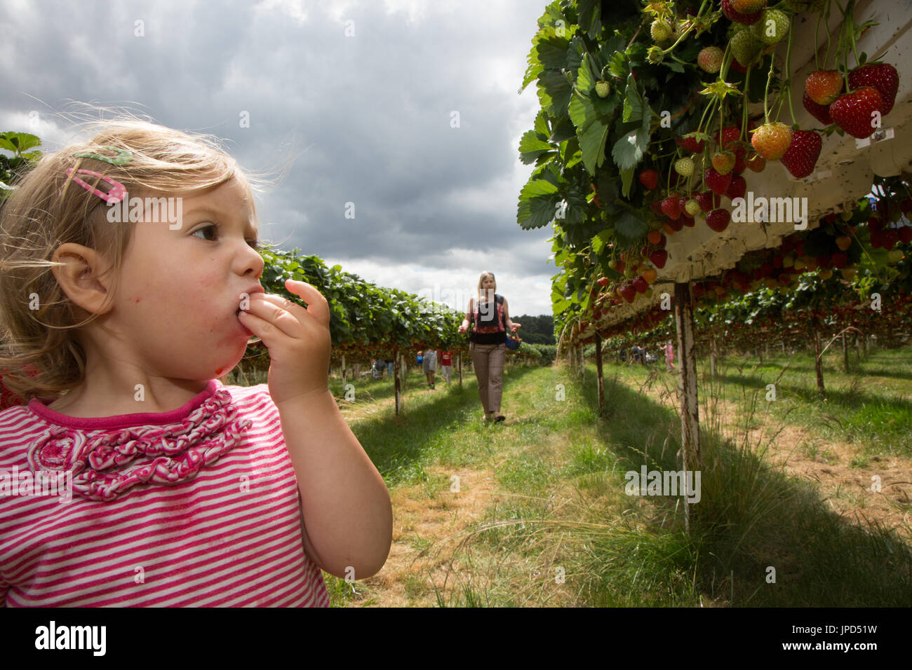 A toddler girl of 18 months eating strawberries at a pick-your-own-farm in England. Her mother and baby sister are in the background - Stock Image