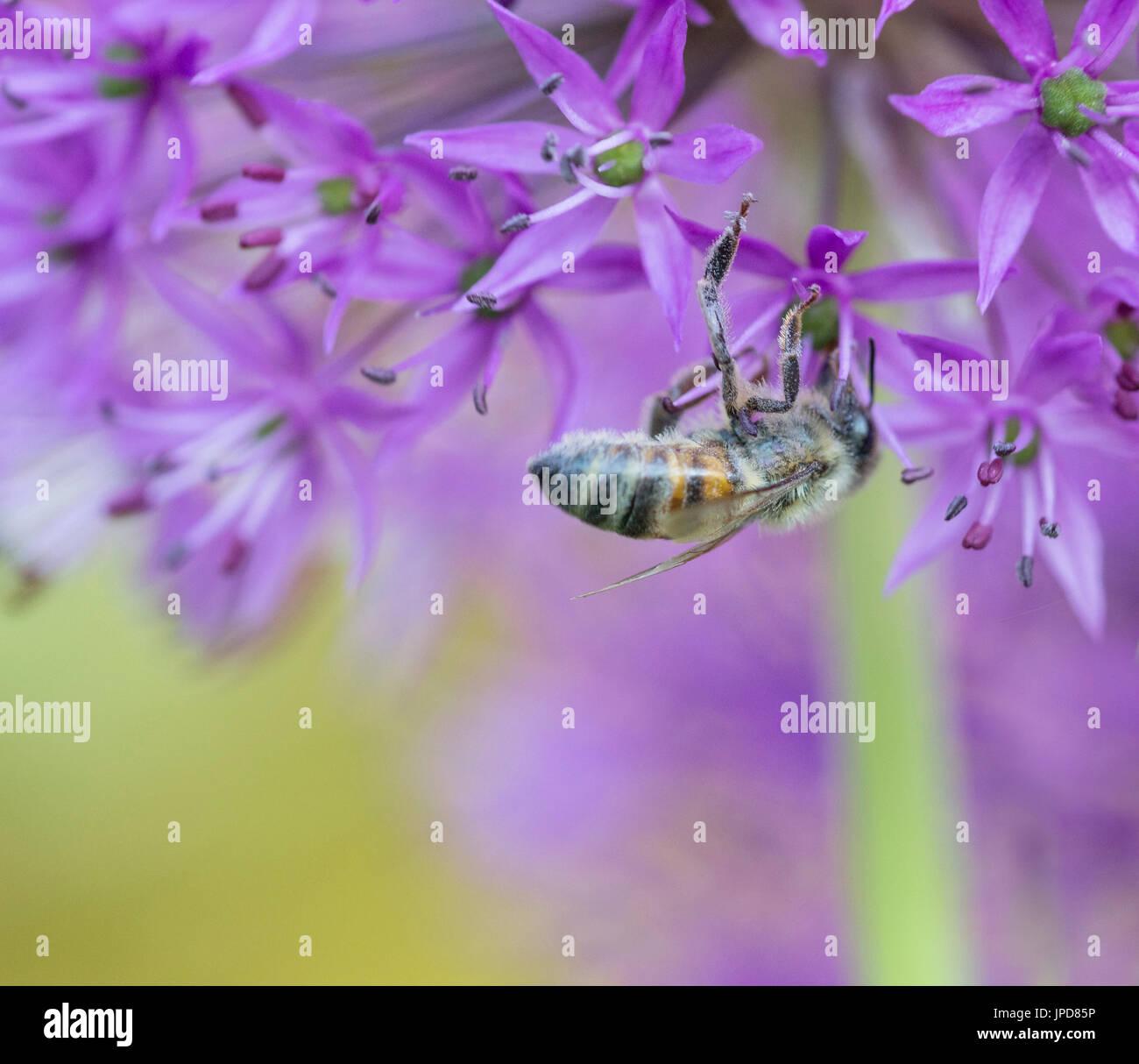 Allium hollandicum 'Purple Sensation' with Bee - Stock Image