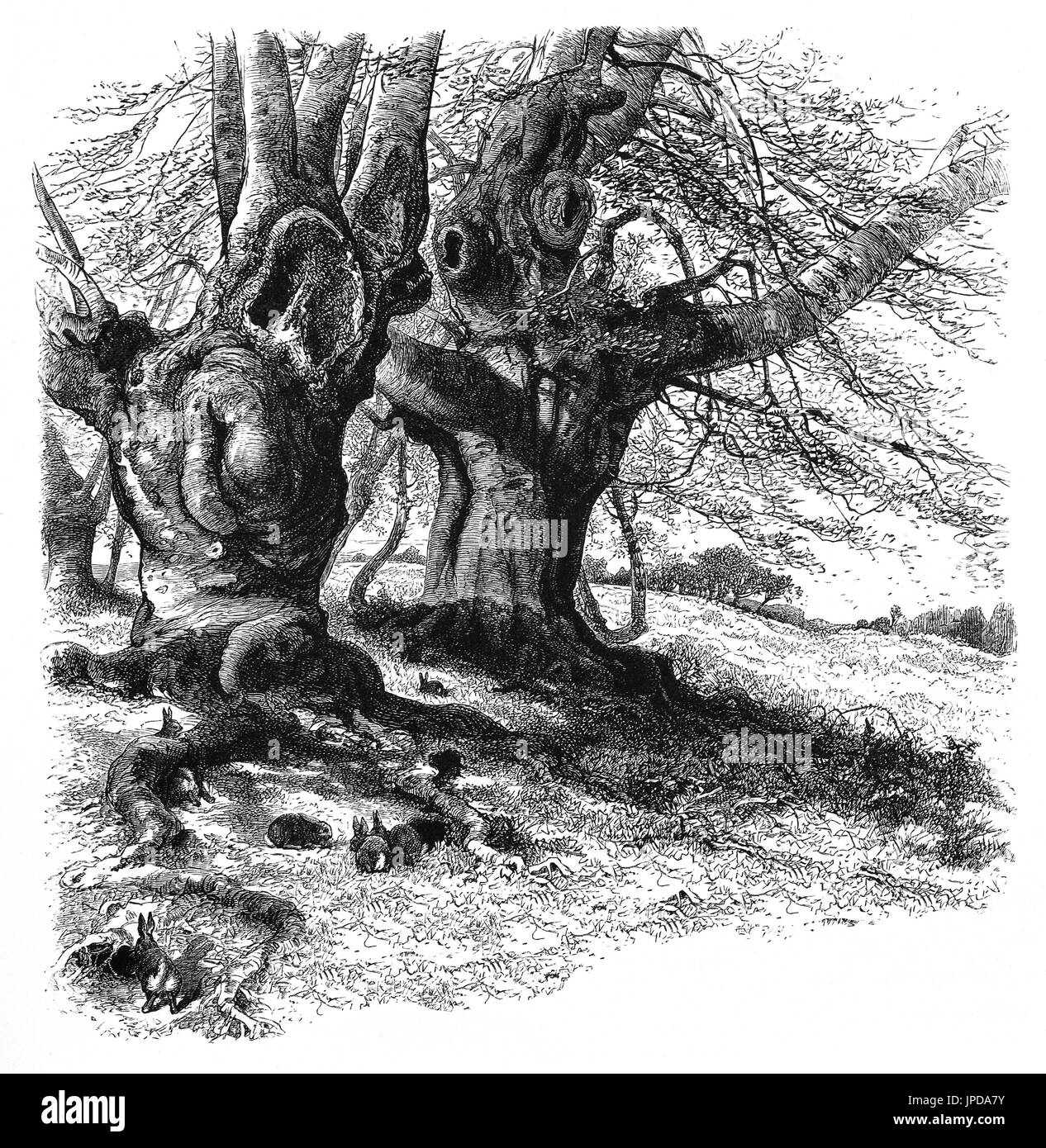 1870: Rabbits in Burnham Beeches, to the west of Farnham Common in Burnham, Buckinghamshire, England. Open to the public it is now  a Site of Special Scientific Interest, a National Nature Reserve and a Special Area of Conservation. - Stock Image