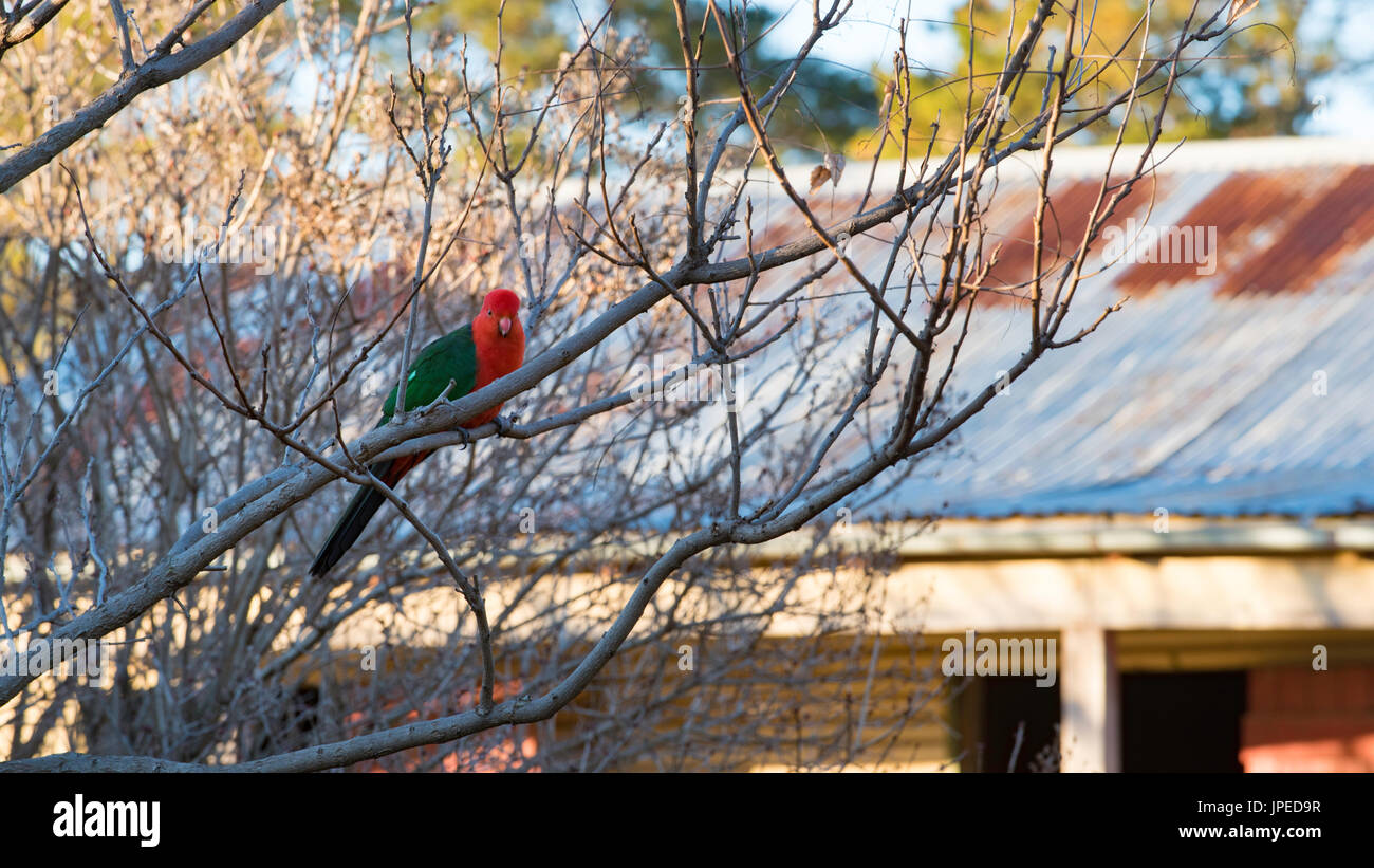 An Australian native male King Parrot sits in a tree in winter time on a farm in NSW, Australia Stock Photo