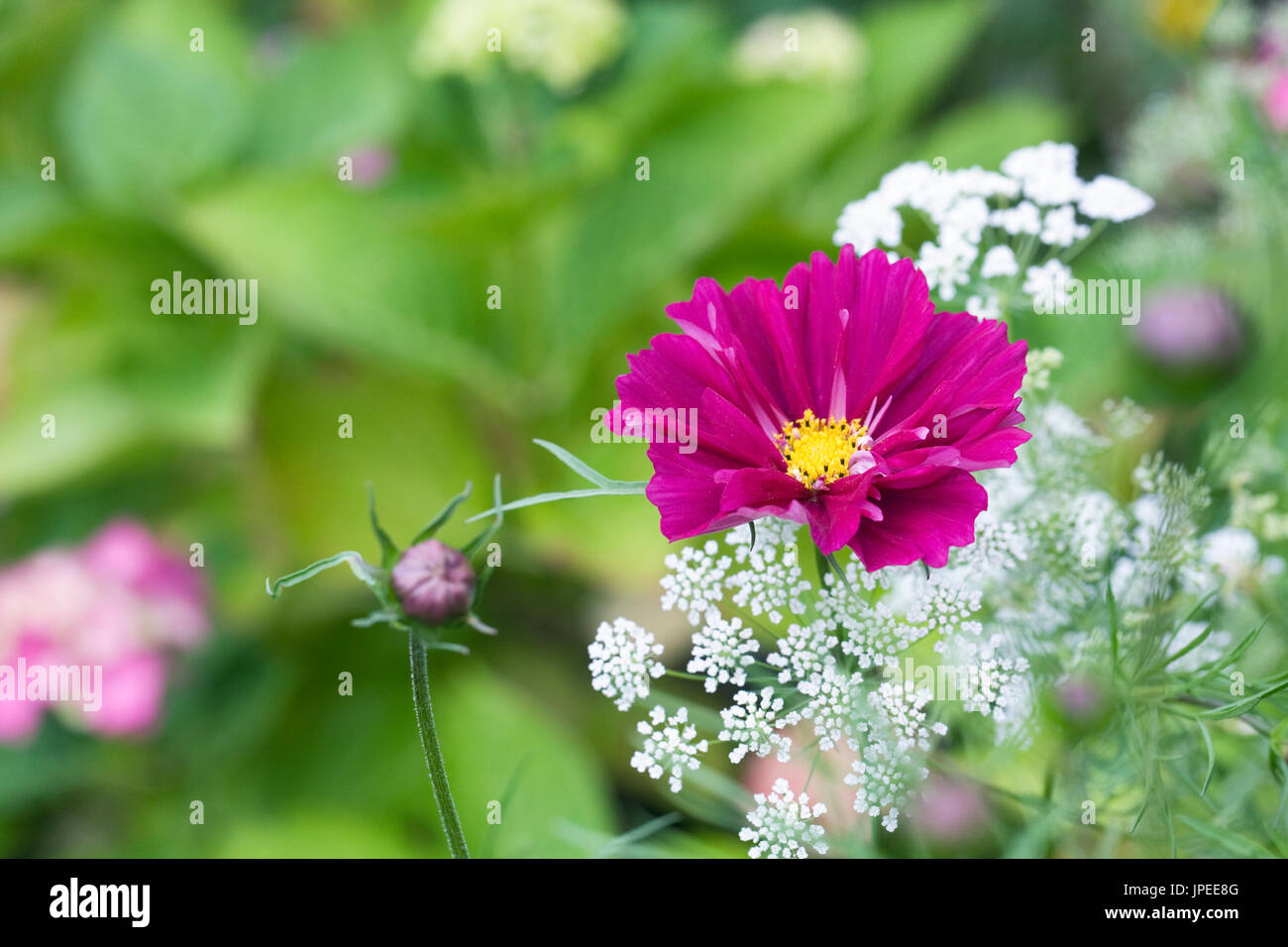 Cosmos bipinnatus and Ammi majus 'Graceland' flowers. Stock Photo