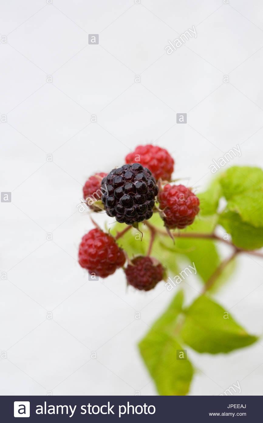 Rubus occidentalis 'Black Jewel'. Black raspberry fruit. - Stock Image
