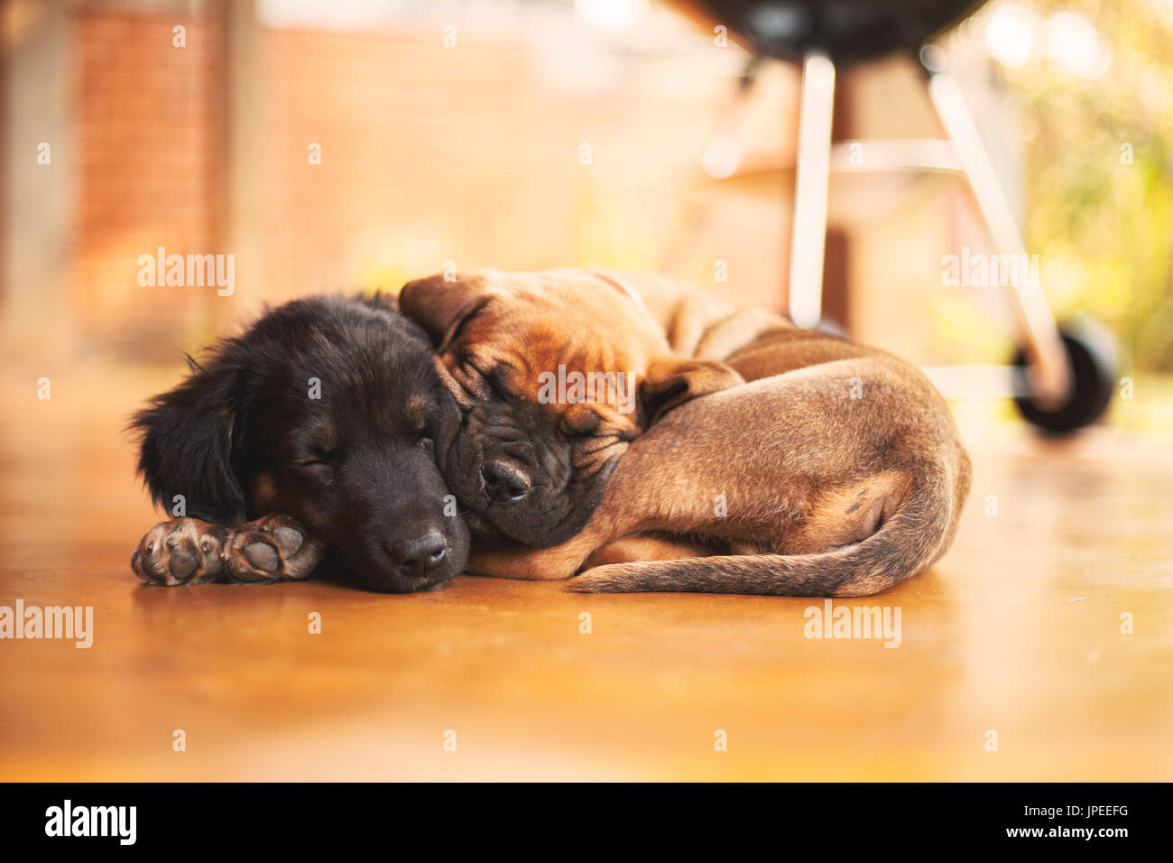 A Boerboel and a German Shepherd x Lab cuddling together. - Stock Image