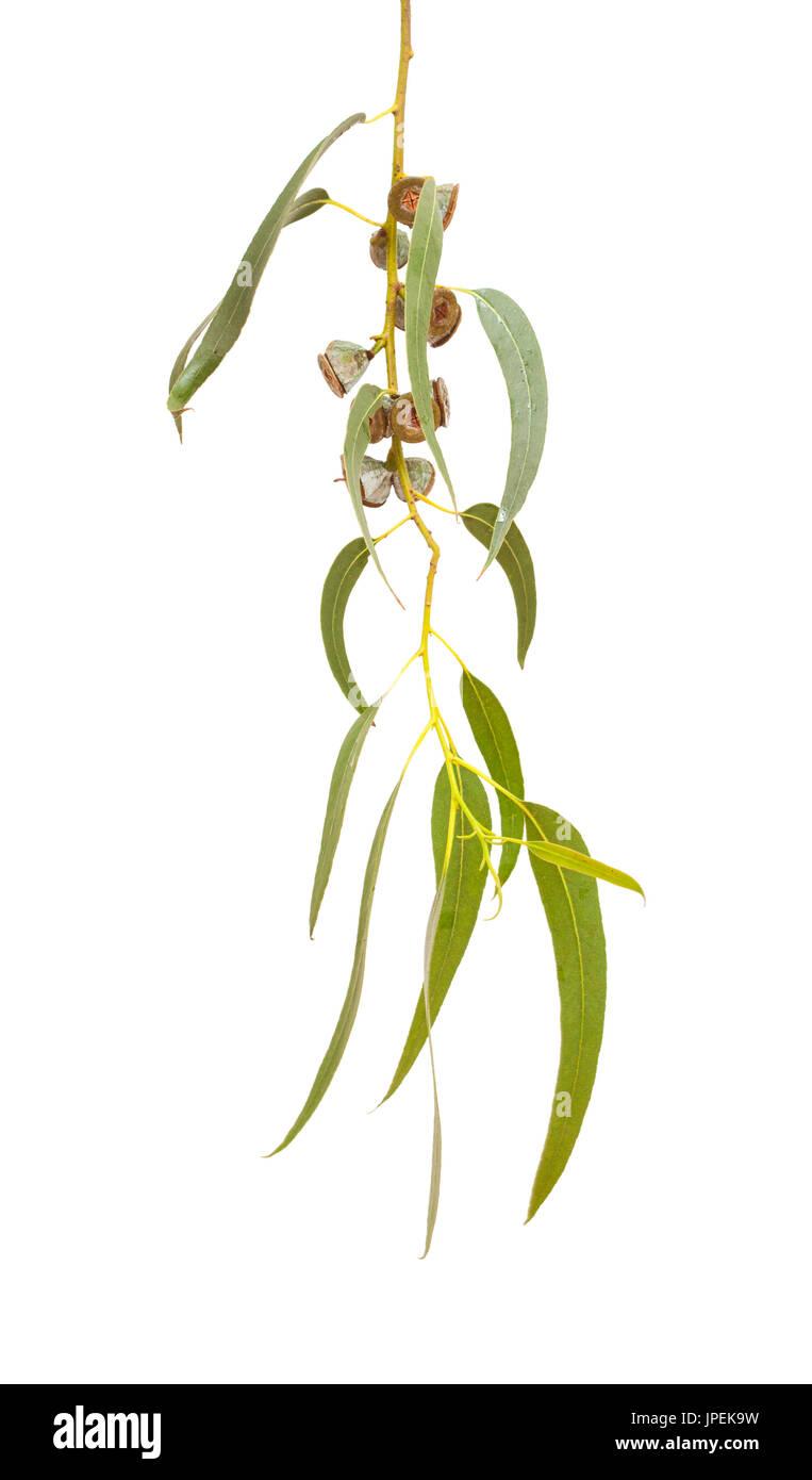 Eucalyptus globulus branch with fruits isolated on white - Stock Image