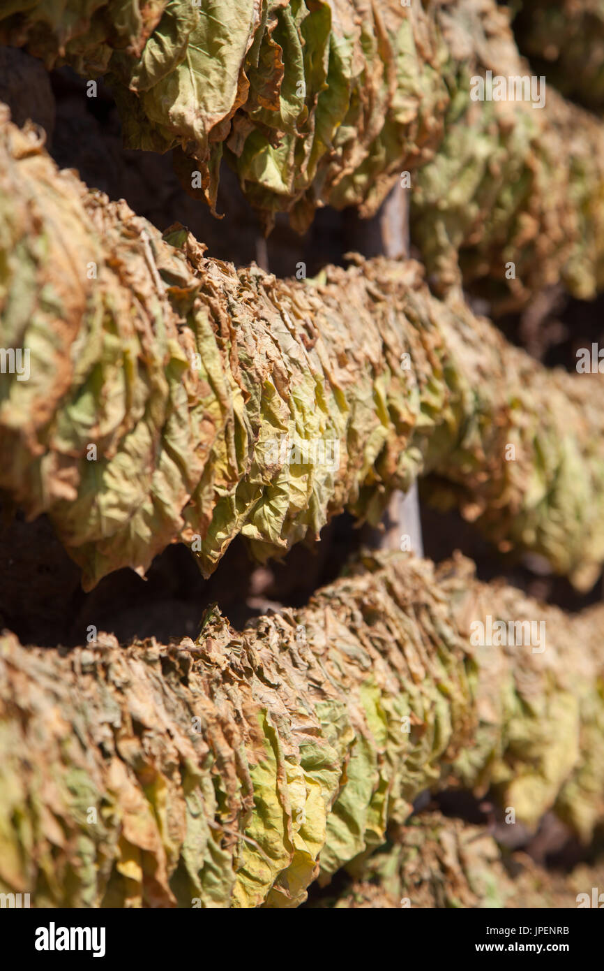 Many tobacco leaves stacked and put on strings for drying before processing. - Stock Image