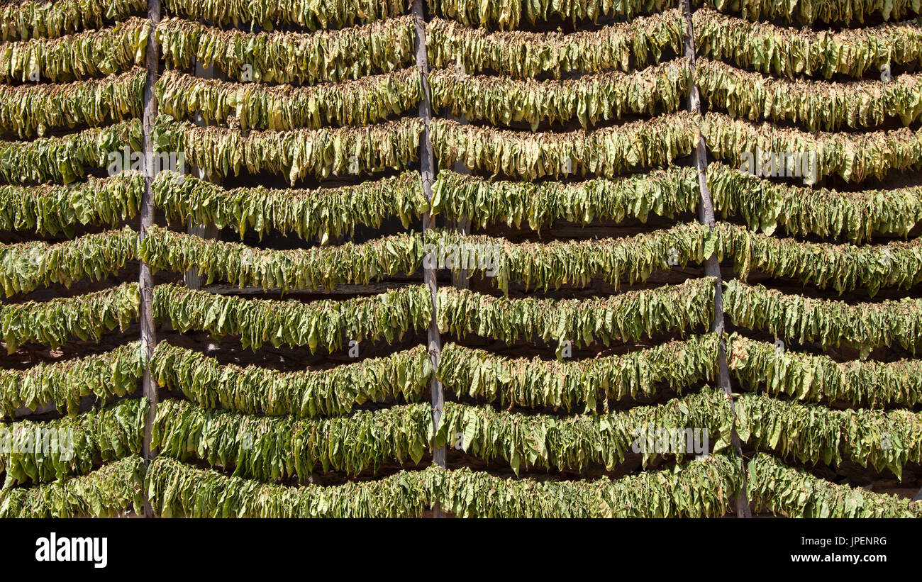 A lot of tobacco leaves stacked on strings for drying before processing. - Stock Image