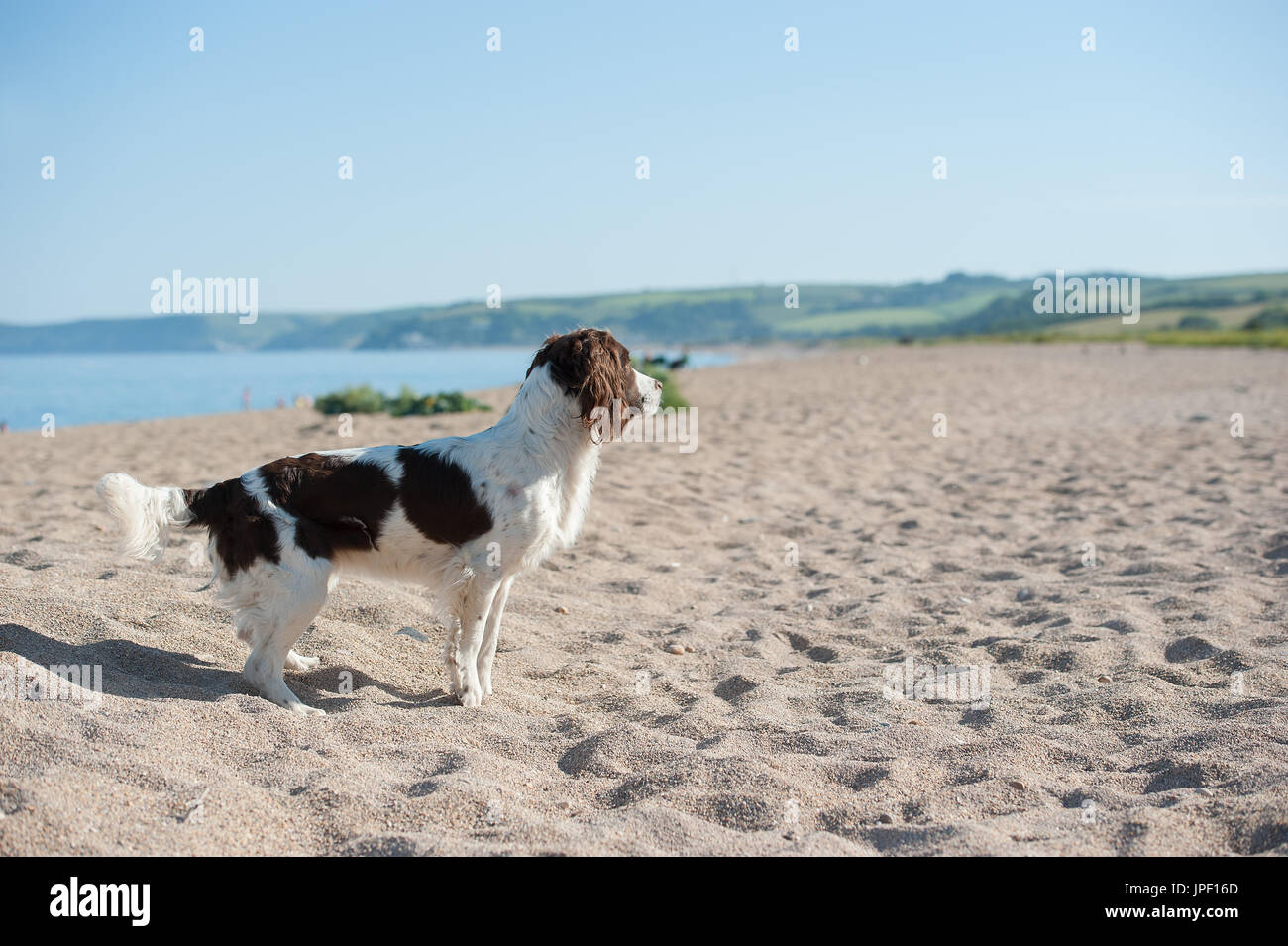 Springer spaniel standing on a beach - Stock Image